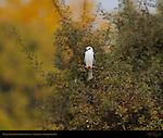 White-Tailed Kite Impressionism, Sepulveda Wildlife Refuge, Southern California