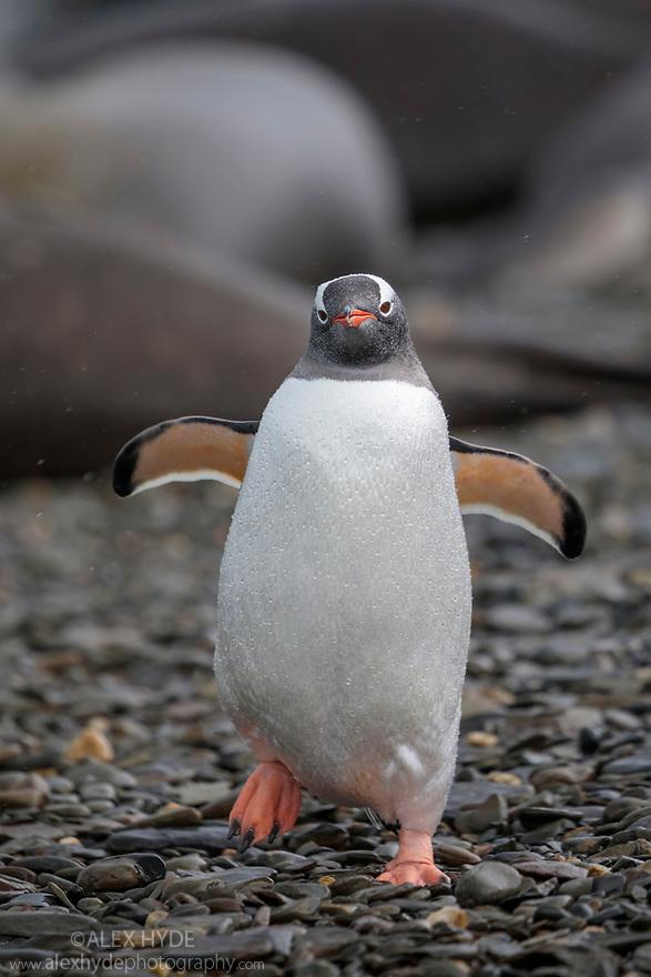 Gentoo Penguin (Pygoscelis papua) King Haakon Bay, South Georgia. November.