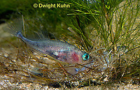 1S57-559z  Threespine Stickleback, gravid female inside male's nest, male prods near her tail fin to stimulate egg laying, Gasterosteus aculeatus