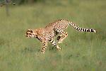 Young female Cheetah (Acinonyx jubatus) chasing prey. Ol Kinyei Conservancy, Masai Mara, Kenya.
