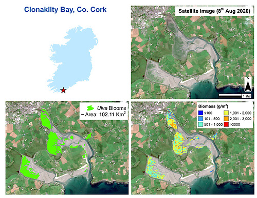 The top right tile shows a Sentinel-2 satellite image of Clonakilty Bay from August 2020. The bottom left is the corresponding spatial extent (highlighted) of the algal bloom in the bay at low tide and the bottom right shows the corresponding biomass the amounts of algal material present in grams per metre squared.
