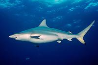blacktip shark, pregnant female Carcharhinus limbatus Bahamas, Caribbean Sea, Atlantic Ocean