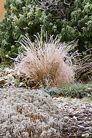 Phormium and ornamental grass in winter frost snow . Rime on edges