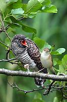 Kuckuck, Küken, Teichrohrsänger füttert das flügge Kuckucks-Küken, Brutparasitismus, Cuculus canorus, Cucullus canorus, cuckoo