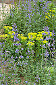Climate Calm Garden, Nicholas Dexter, RHS Chelsea Flower Show 2012. Purple-blue Nepeta racemosa 'Walker's Low' and yellow Euphorbia.