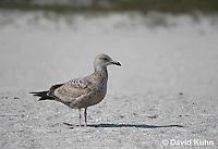 0104-1001  Herring Gull (2nd winter plumage), Larus argentatus  © David Kuhn/Dwight Kuhn Photography