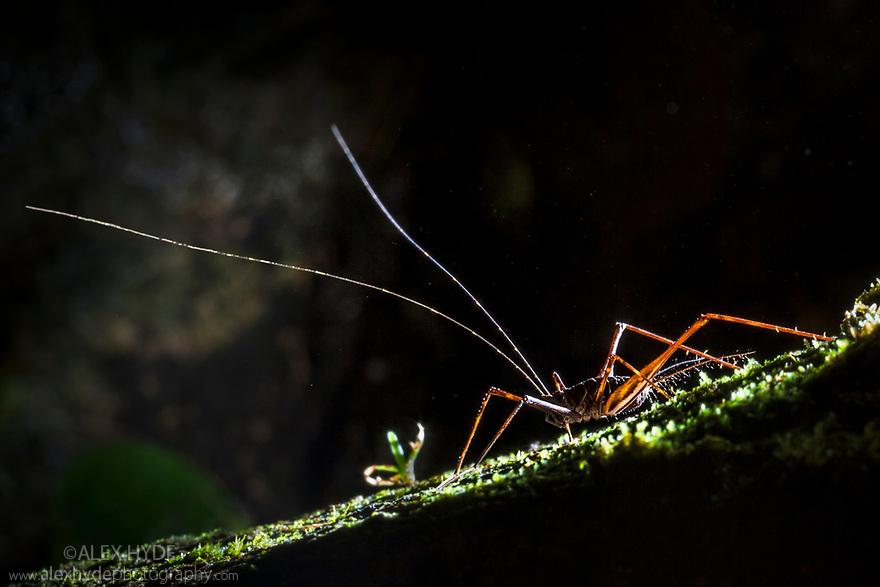 Cricket {Phalangopsis sp.} backlit at night showing long antennae. Osa Peninsula, Costa Rica, May.