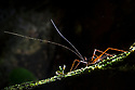 Cricket {Phalangopsis sp.} backlit at night showing long antennae. Osa Peninsula, Costa Rica, May.