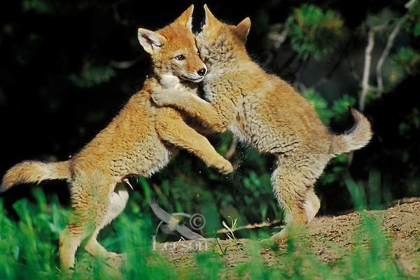 Wild Coyote pups play near densite.  Western U.S., June.