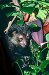 Aye-aye (Daubentonia madagascariensis) feeding on a banana flower. Endemic to Madagascar. Photographed in the wild in north east Madagascar.