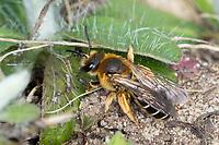 Rotbeinige Furchenbiene, Weibchen, Halictus rubicundus, Orange-Legged Furrow-Bee, Orange-Legged Furrow Bee, female, Schmalbienen, Furchenbienen, Halictidae