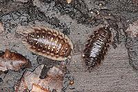 Mauerassel, Mauer-Assel, Mauerasseln auf Totholz, in morschem Holz, Oniscus asellus, common woodlouse, common sowbug, grey garden woodlouse