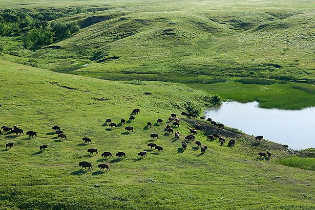 Buffalo herd on the prairie