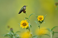 Ruby-throated Hummingbird (Archilochus colubris), Hill Country, Central Texas, USA