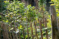 Wildbienen-Nisthilfe aus markhaltigen Stängel, Stängel, Pflanzenstängel, Pflanzenstängeln, Stengel wie zum Beispiel Himbeere, Holunder, Beifuß. Die etwa 50-100 cm langen, markhaltigen Stängel werden senkrecht an einen Zaun, Stakettenzaun, Staketenzaun, Gartenzaun gebunden. Wildbienen-Nisthilfen, Wildbienen-Nisthilfe selbermachen, selber machen, Wildbienenhotel, Insektenhotel, Wildbienen-Hotel, Insekten-Hotel