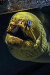 Green morey eel facing camera hiding under shipwreck, vertical