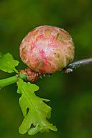 Schwammapfel, Schwamm-Apfel, Gallapfel, Kartoffelgalle, Kartoffel-Galle, Eichenschwamm-Gallwespe, Galle der bisexuellen Generation, Schwammgallwespe, Eichenschwamm - Gallwespe, Gall-Wespe, Schwamm-Gallwespe, Biorhiza pallida, Biorrhiza pallida, Galle an Eichen-Zweig, Gallen, Eiche, Quercus, oak-apple gall wasp, oak apple