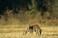Europäisches Reh, Rehwild, Reh-Wild, Weibchen, Ricke mit Jungtier, Capreolus capreolus, roe deer