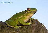 1218-1004  American Green Treefrog Sitting on Tree, Hyla cinerea  © David Kuhn/Dwight Kuhn Photography