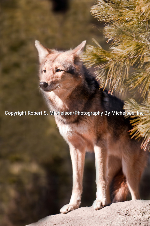 Coyote, vertical