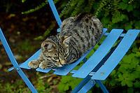 Tabby kitten sitting on a blue chair, Pleurtuit, Brittany, France.