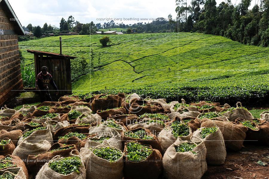 KENYA, Muranga, village Ndiriti, worker harvest tea leaves, collection point, jute bags