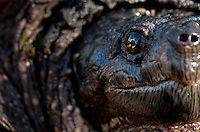 Common Snapping Turtle.Chelydra serpentina.Large common snapper found prowling a vernal pool.