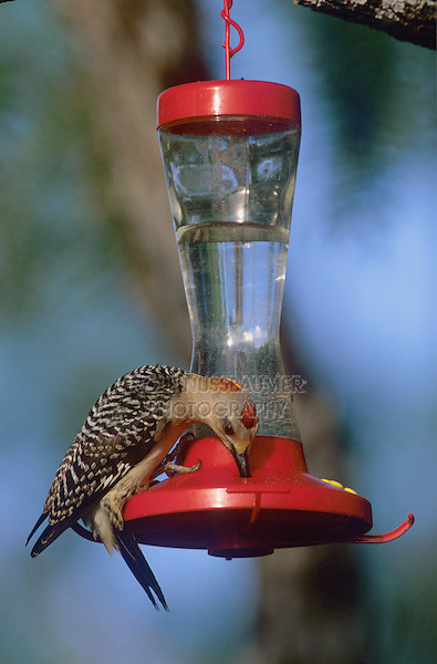 Golden-fronted Woodpecker, Melanerpes aurifrons, male drinking from Hummingbird Feeder, Willacy County, Rio Grande Valley, Texas, USA, May 2004