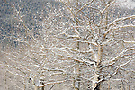 fresh snow clings to aspen branches in Rocky Mountain National Park, snow, early spring, winter, Colorado, USA, telephoto perspective
