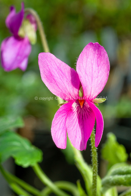 Viola odorata ' Miracle Classy Pink', pink violets in spring bloom, fragrant perennial ground cover plant