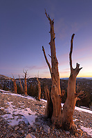 Bristlecone pines and White Mountians just prior to sunrise, Inyo National Forest, White Mountains, California, USA