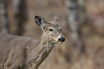 White-tailed deer shedding winter coat