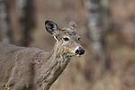 White-tailed deer shedding winter coat