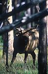 Bull elk peering under a fallen tree in a forest in Montana