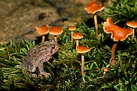 American toad in lush garden of fern like plants and orange mushrooms