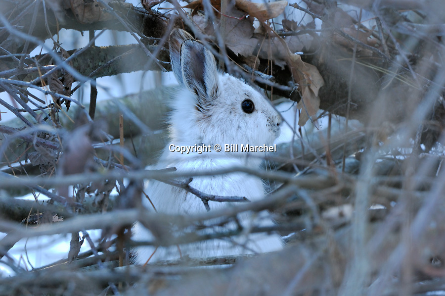 01070-020.03 Snowshoe Hare displays remarkable cryptic coloration as it hides in downed tree during winter.  Camouflage, hunt, cold.  H3A1
