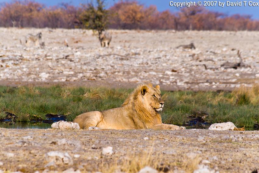 African Lion male and Zebra watching, Rietfontein Waterhole, Etosha NP, Namibia