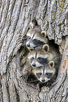 Common Raccoon (Procyon lotor), three young, at den entrance in tree trunk, Minnesota, USA, North America