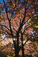 Flowering dogwood (Cornus florida), sun shining through fall leaves,  Haw River State Park, Pittsboro, North Carolina, USA