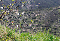 Stock image of plum blossoms Almond flower branches hanging over wild grass grown on cliff of a hill in Cyprus.