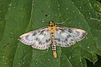 Brennnessel-Zünsler, Brennnesselzünsler, Brennessel-Zünsler, Brennesselzünsler, Anania hortulata, Eurrhypara hortulata, Eurrhypara urticata, Eurrhypara urticalis, Small Magpie