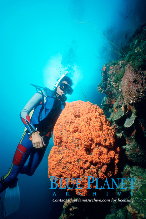 diver and elephant ear sponge, Agelas clathrodes, at Blue Wall, Curacao, Netherland Antilles, Caribbean, Atlantic Ocean