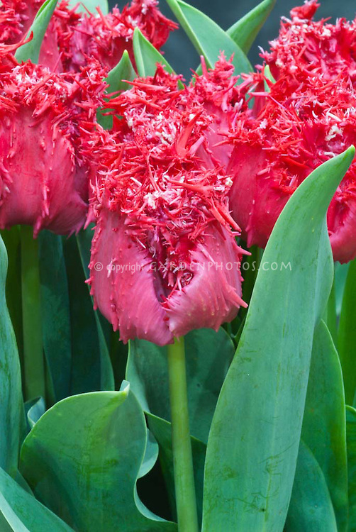Tulipa 'Barbados' Division 7 fringed red tulips