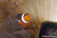 0321-1106  False Percula Clownfish (Ocellaris Clownfish), Amphiprion ocellaris, with Bulb-tipped Anemone, Entacmaea quadricolor  © David Kuhn/Dwight Kuhn Photography