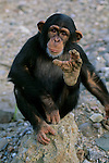 DOH, The First Steps, Chimp, Showing splayed big toe typical of ape feet