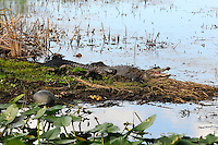 Late morning photograph of Alligator at edge of swamp with turtles nearby. Alligator does not appear to be hungry! Photographed at Arthur Marshall Loxahatchee Preserve, Boynton Beach, Florida.