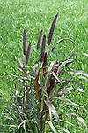 'Purple Majesty' Millet, Pennisetum glaucum, at Monrovia Nursery Co.