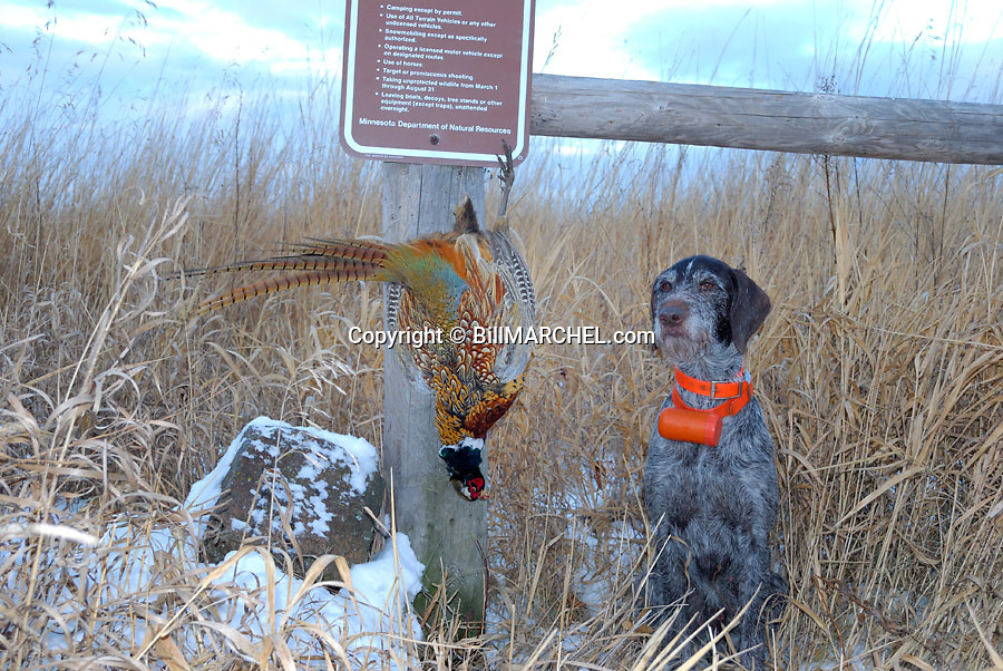 00279-02017 Deutsch Drahthaar poses proudly with a rooster pheasant take on a public land WMA.