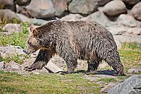 Very wet dripping Grizzly Bear walking across rocky area in Montana