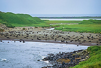 Northern Fur Seal, St. Paul, Pribilof Islands, Alaska.